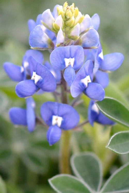 Now that I've seen the first bluebonnet, Texas' state flower, I know that it's spring.