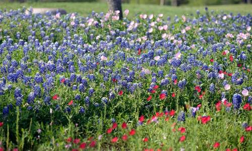 This is the patch where the first bluebonnet bloomed.