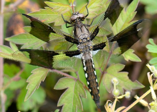 A pennant dragonfly poses.