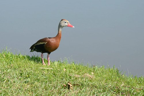 A whistling duck