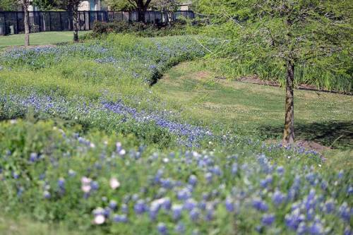 Bluebonnets galore!