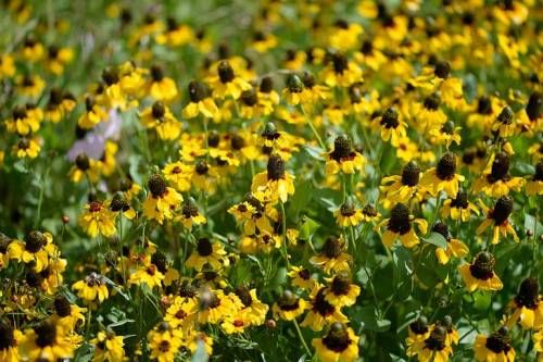 Brown-eyed Susans (like me!) are abundant.