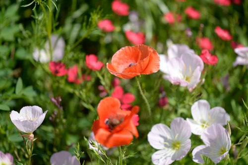 The poppies mingle with the pink evening primrose and the red phlox.