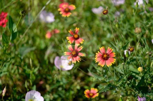 Indian blankets mix with pink evening primrose.