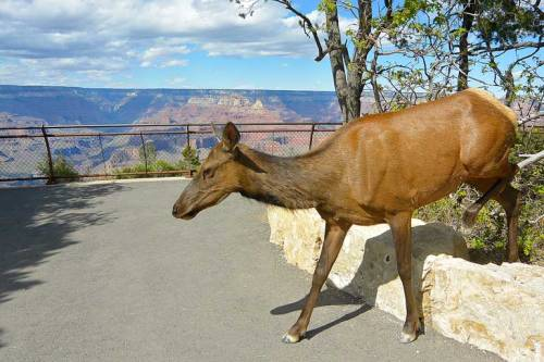fb-#6455-(elk-at-south-rim)